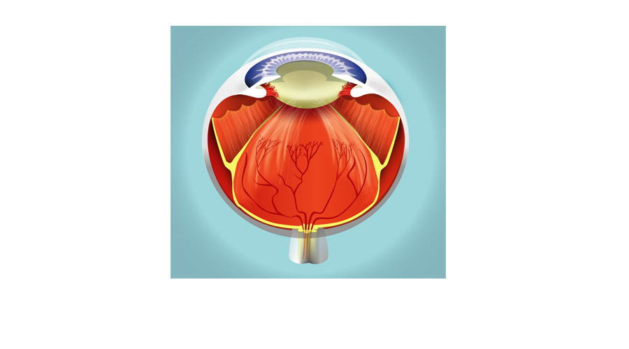Medical Illustration of the Human Eye - Cut-away view